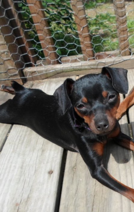 Minnie is a black and rust female.